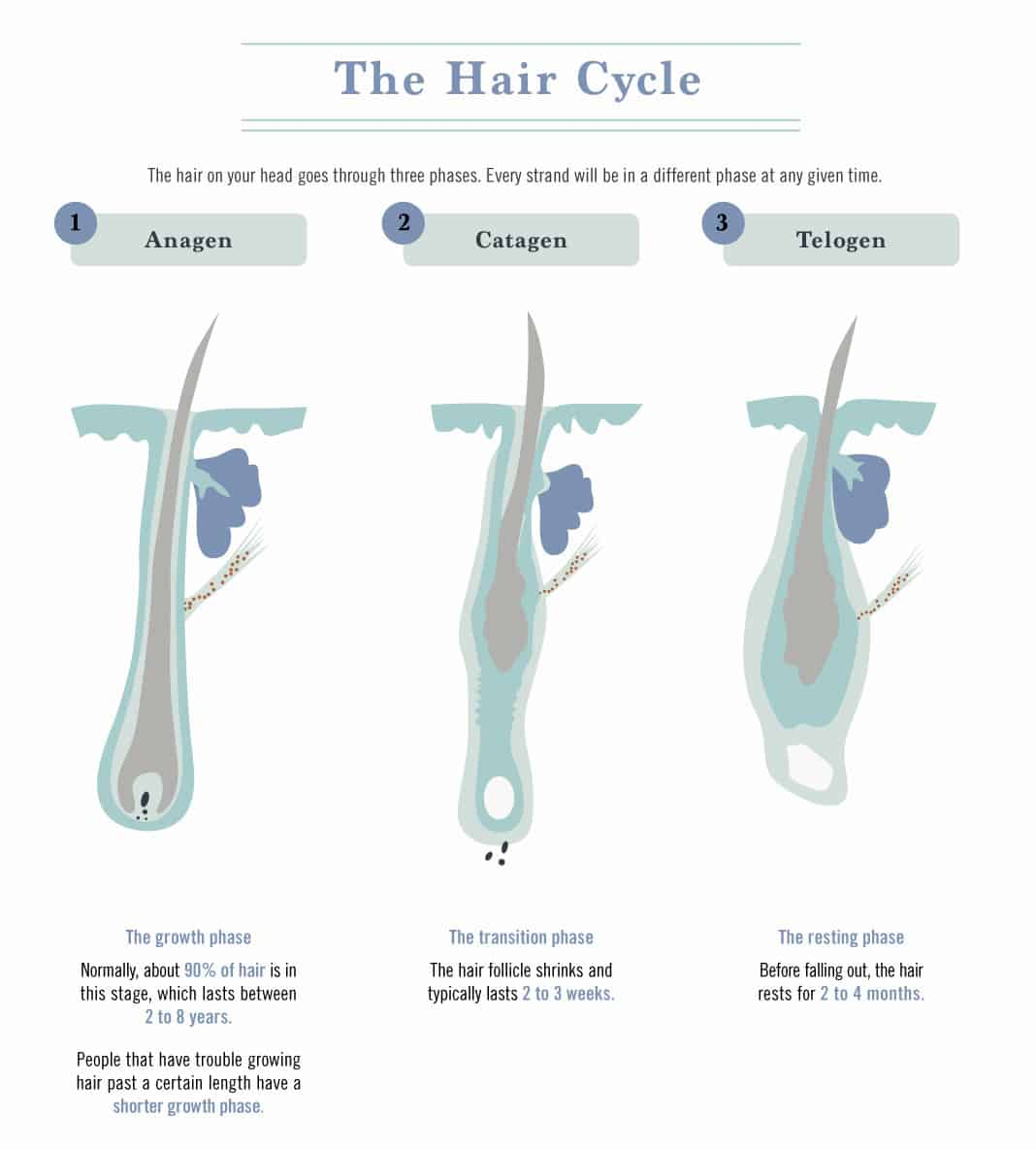 The Hair Cycle
